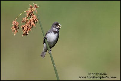 Double-colllared Seedeater (Sporophila caerulescens)