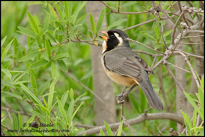 Golden-billed Saltator (Saltator aurantiirostris)