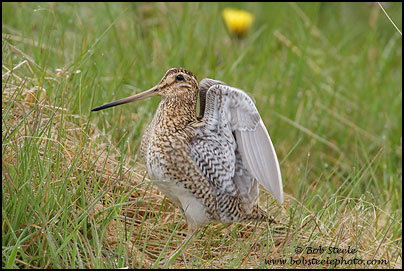 South American Snipe (Gallinago paraguaiae)