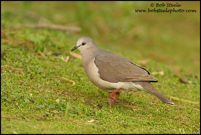 White-tipped Dove (Leptotila verreauxi)