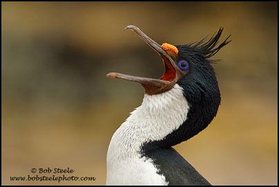 Cormorant King Wallpapers Cormorant Phalacrocorax
