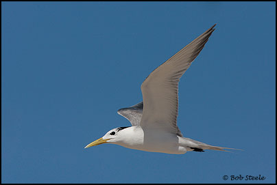 Crested Tern (Sterna bengalensis)