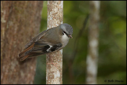 Grey-headed Robin (Heteromyias albispecularis)
