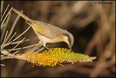 Singing Honeyeater (Lichenostomus virescens)