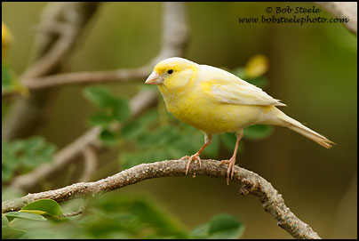 Atlantic (Common) Canary (Serinus canaria)