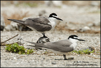 Spectacled (Grey-backed) Tern (Onychoprion lunatus)