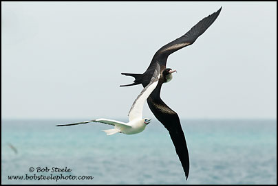 Great Frigatebird (Fregata minor)