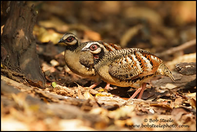 Bar-backed Hill Partridge (Arborophila brunneopectus)