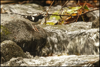 Black-backed Forktail (Enicurus immaculatus)