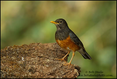 Black-breasted Thrush (Turdus dissimilis)