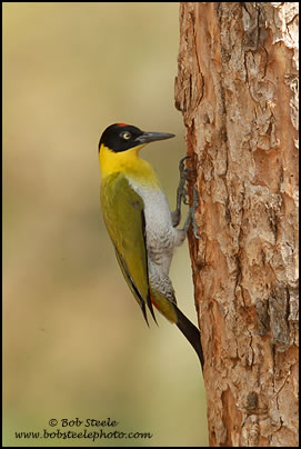 Black-headed Woodpecker (Picus erythropygius)
