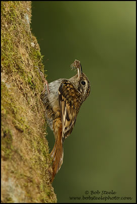 Brown-throated Tree-Creeper (Certhia discolor)