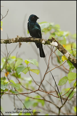 Lesser Racket-tailed Drongo (Dicrurus remifer)