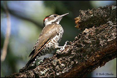 Arizona Woodpecker (Picoides arizonae)