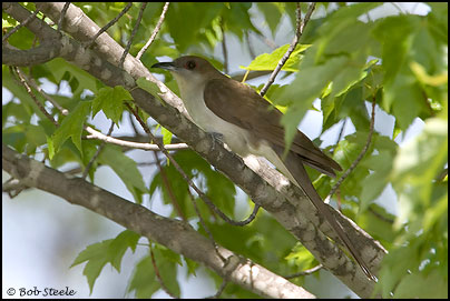 Black-billed Cuckoo (Coccyzus erythropthalmus)