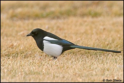 Black-billed Magpie (Pica hudsonia)