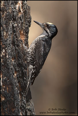 Black-backed Woodpecker (Picoides arcticus)