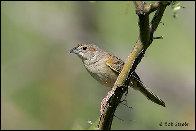Botteri's Sparrow (Aimophila botterii)