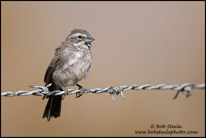 Black-throated Sparrow (Amphispiza bilineata)