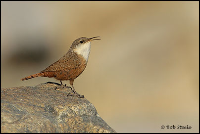 Canyon Wren (Catherpes mexicanus)