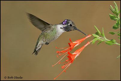Costa's Hummingbird (Calypte costae)