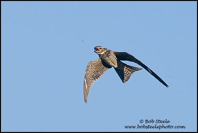Common Nighthawk (Chordeiles minor)