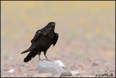 Common Raven (Corvus corax)
