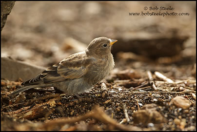 Gray-crowned Rosy-Finch (Leucosticte tephrocotis)