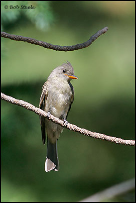 Greater Pewee (Contopus pertinax)