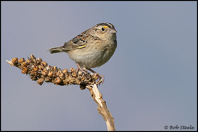 Grasshopper Sparrow (Ammodramus savannarum)