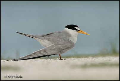 Least Tern (Sterna antillarum)