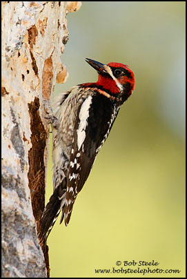 hybrid Red-breasted X Red-naped Sapsucker
