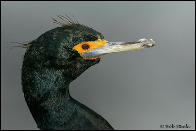 Red-faced Cormorant (Phalacrocorax urile)