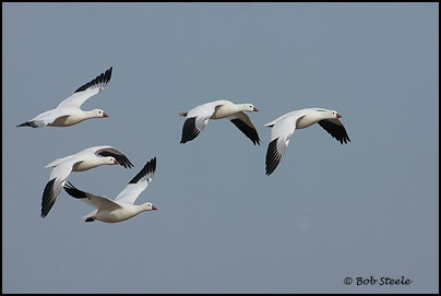 Ross's Goose (Chen rossii)