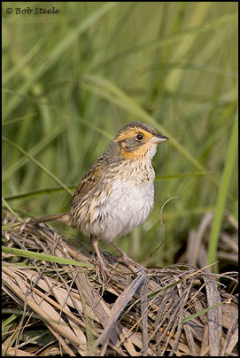 Saltmarsh Sharp-tailed Sparrow (Ammodramus caudacutus)