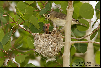Warbling Vireo with Brown-headed Cowbird chick at nest (Vireo gilvus)