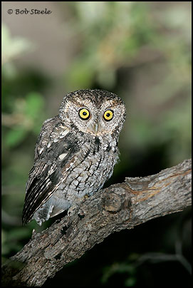 Whiskered Screech-Owl (Otus trichopsis)
