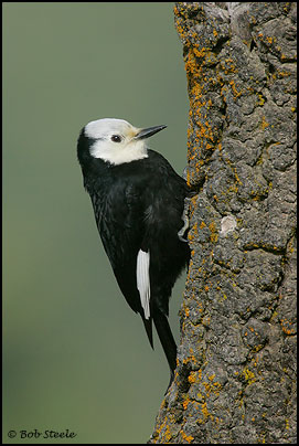 White-headed Woodpecker (Picoides albolarvatus)