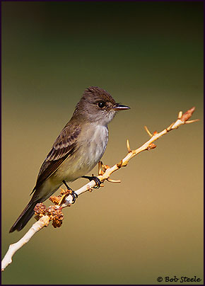 Willow Flycatcher (Empidonax traillii)