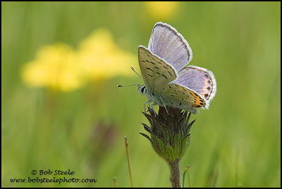 Acmon Blue (Plebejus acmon)