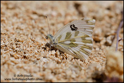 Becker's White (Pontia beckerii)