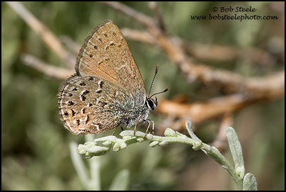 Behr's Hairstreak (Satyrium behrii)