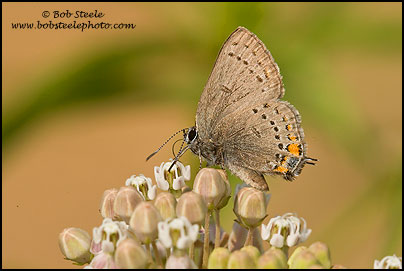 California Hairstreak (Satyrium californica)