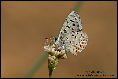 Dotted Blue (Euphilotes enoptes)