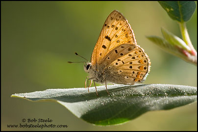 Gorgon Copper (Lycaena gorgon)