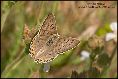 Great Copper (Lycaena xanthoides)