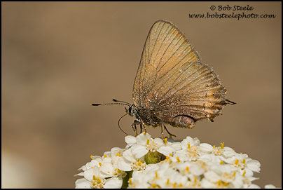 Hedgerow Hairstreak (Satyrium saepium)