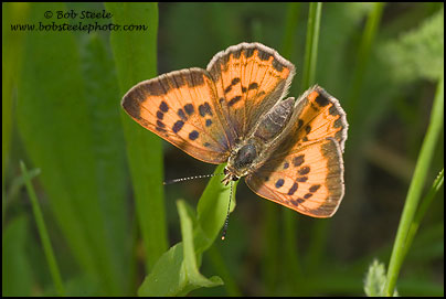 Lilac-bordered Copper (Lycaena nivalis)