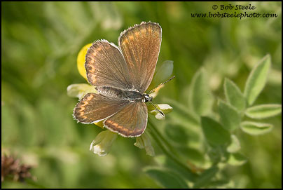 Northern Blue (Lycaeides idas)