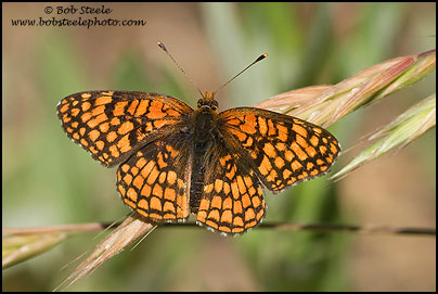 Northern Checkerspot (Chlosyne palla)